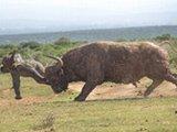 太猛!水牛竟可撞飞大象