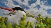 《人与自然》 20210120 博滕海奏鸣曲——鸟儿的欢歌(下)