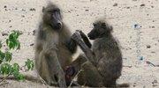 《动物世界》 20210722 奇妙的狒狒家族(下)