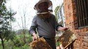 湖南桃江小土蜂