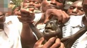 非洲怪异羊犊长着一张人脸