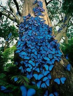 花纹非常壮观,被誉为世界上最美丽的蝴蝶,不仅体态婀娜,展翅如孔雀