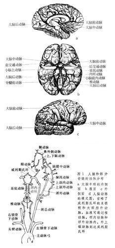 正常肝细胞结构手绘图