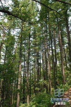 本属约18种,分布于北半球,落叶松树是松科植物中耐腐性和力学性较强的