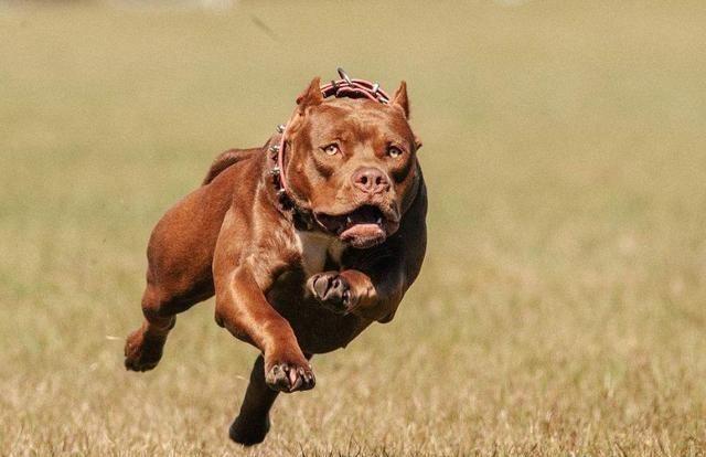 <b>世界6大危险犬种,藏獒排名第二,还有一名居然被禁养</b>