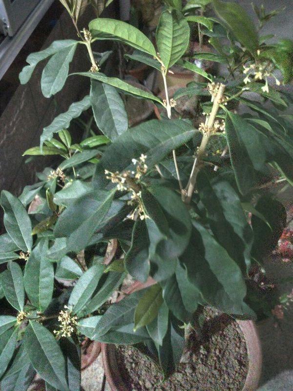 四季桂叶子干尖是怎么回事?图片