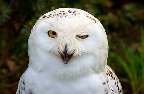 眼睛构造: 如其他大部分夜行性动物,猫头鹰的眼睛眼瞳后部有一个反射