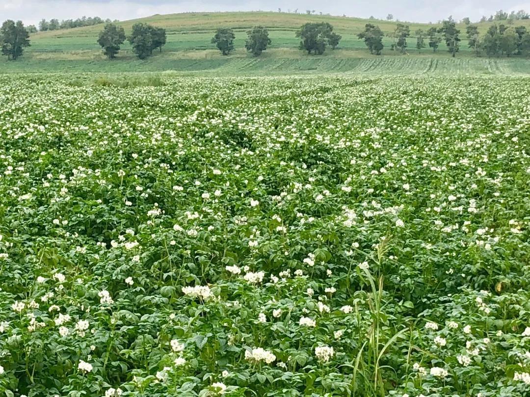 中国化肥增值行动 富岛专用肥引领马铃薯行业跨越前行