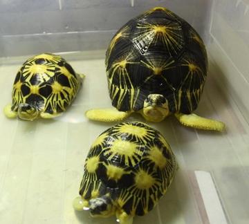陆龟怎么冬眠 应进行不定期的检查