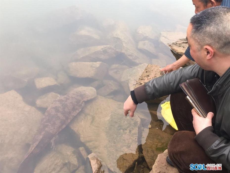 四川发现巨型野生娃娃鱼:长1米重18斤 - 一统江山 - 一统江山的博客