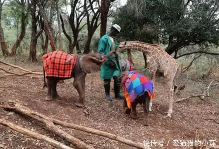 长颈鹿竟和小象争着抢奶喝还在一起温馨的玩耍,实情却很心痛!