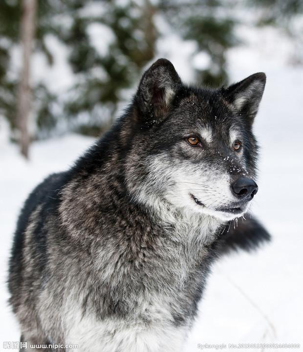 我要几张霸气的狼图片