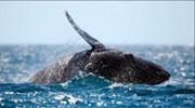 实拍巨鲸跃出水面激起千层浪花