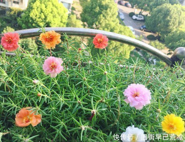 别再养绿萝吊兰了,此花漂亮又好养,扔进土里就能活,四季有花开