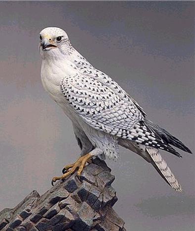 壁纸 动物 鸟 鸟类 雀 桌面 394_465
