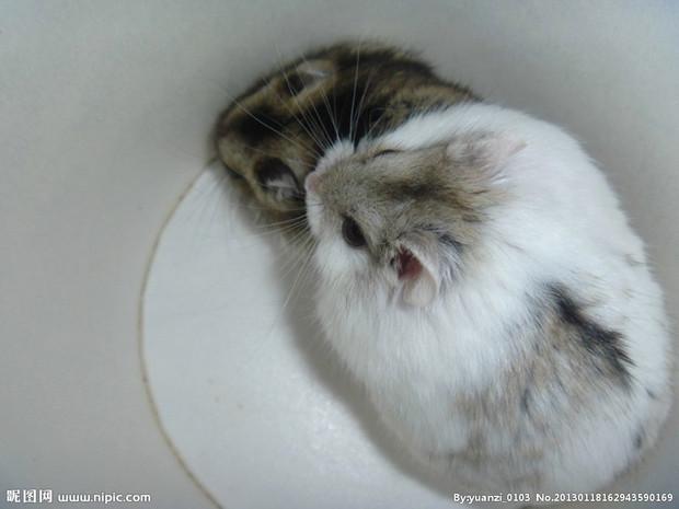 搬仓鼠,葵鼠   拉丁文学名:cricetidae   英文名:hamster   界: 动物