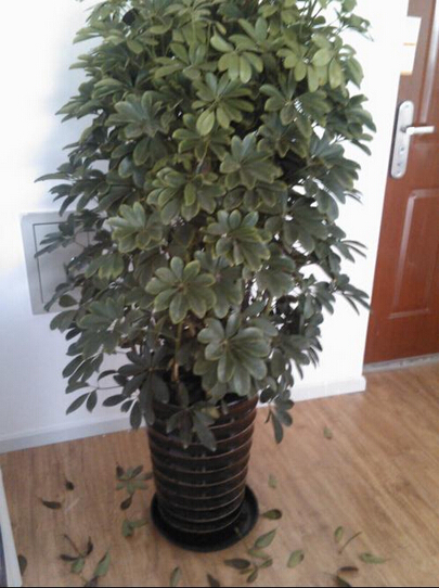 我家的招财树怎么成这样了?总是掉叶子