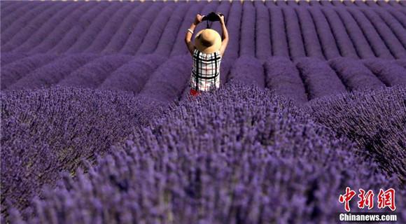 给眼睛放个假 法国薰衣草盛开如梦幻王国
