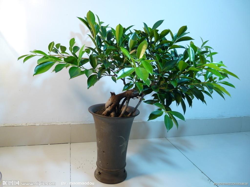 榕树盆景是具有生命力的象征的造型景观