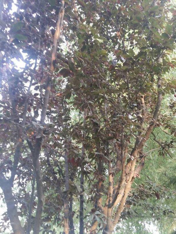 这是什么树?树上结的果子能吃么?