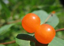 金银花的浆果 - 驯马汉子 - yyjgr的博客