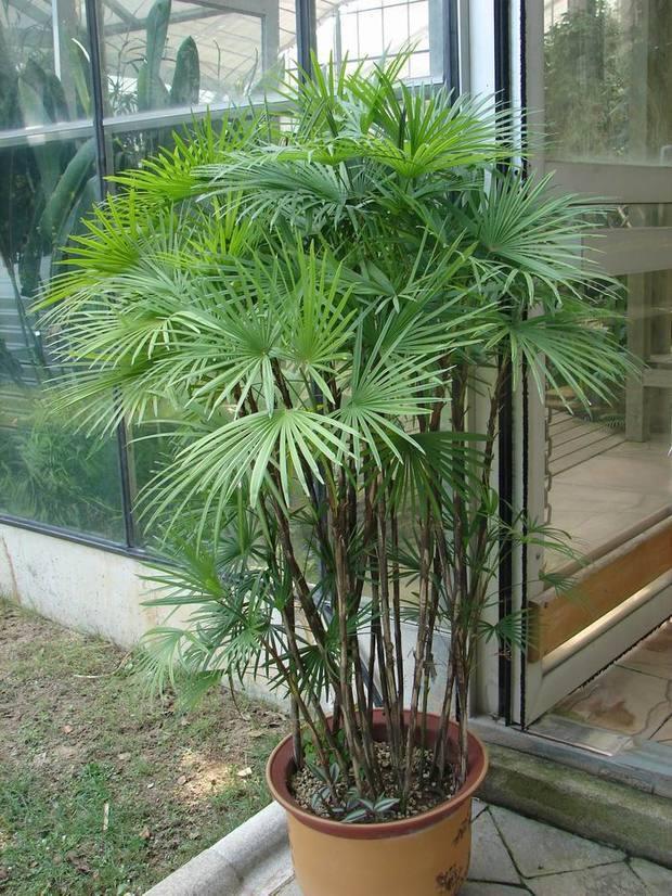 棕竹,棕树,筋头竹,琉球竹
