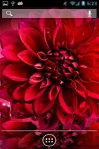 红色非洲菊壁纸_360手机助手