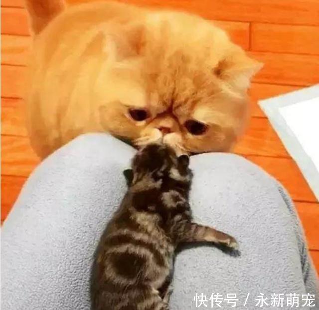 加菲猫盯着小奶猫,一脸纠结1好奇这家伙真的跟臃肿表情包的图片