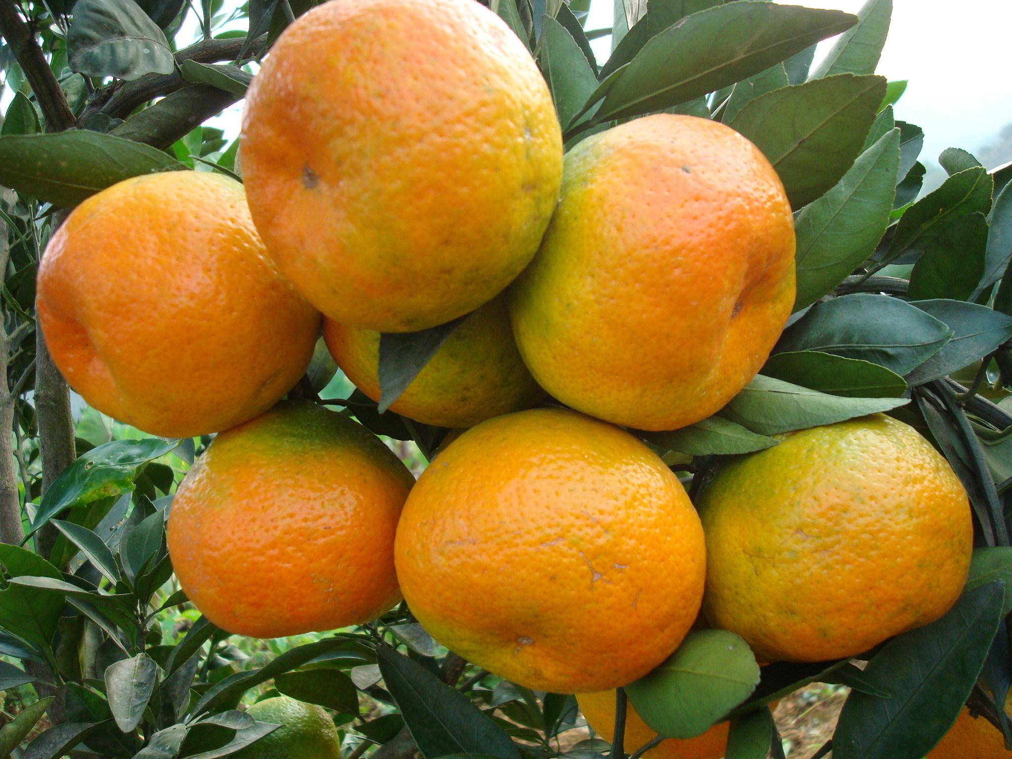 柑橘横切结构图