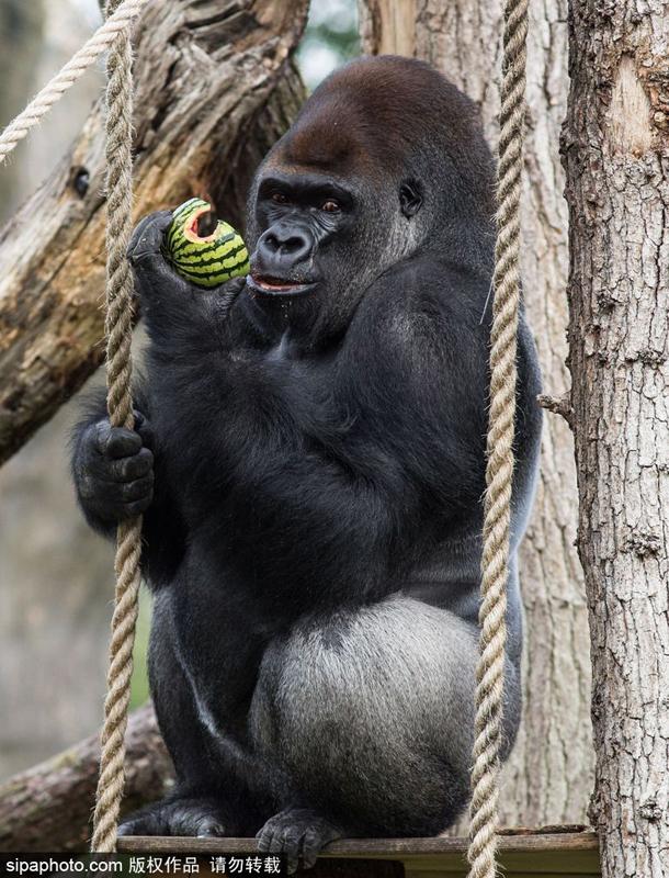 伦敦动物园大猩猩撞碎玻璃