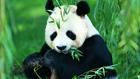 10年养死5只熊猫 是否巧合?