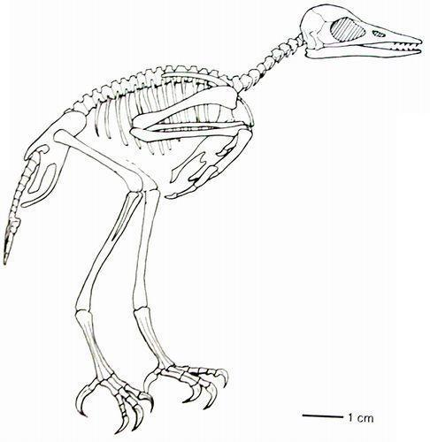 鸟手绘线稿