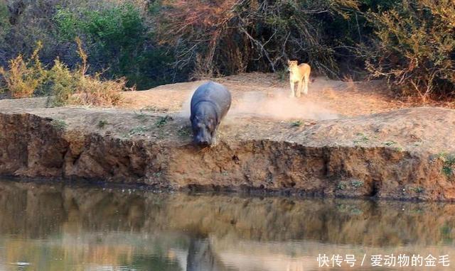 狮群以为追到河马穷途末路,没想到河马却来了这一手,狮子懵逼了