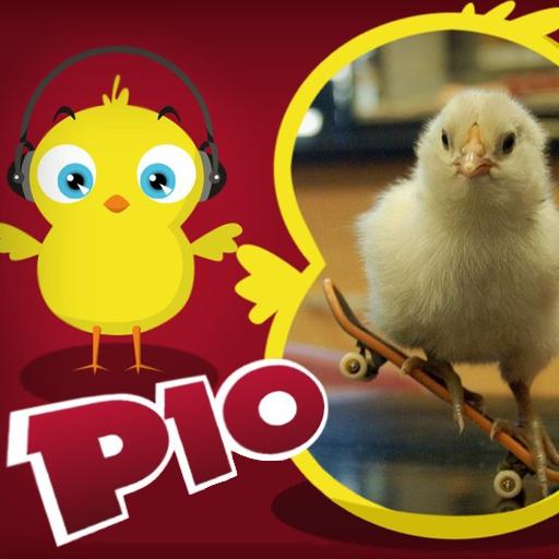 小鸡pio真实的动物