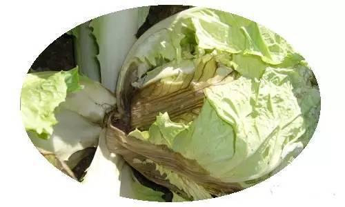 这些被污染蔬菜 遇见了千万要躲开 - 三九 - 三 九 听 风 SANJIU