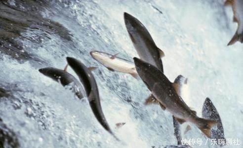 这种鱼回游产卵,逆流而上,飞跃瀑布,用自己的肉
