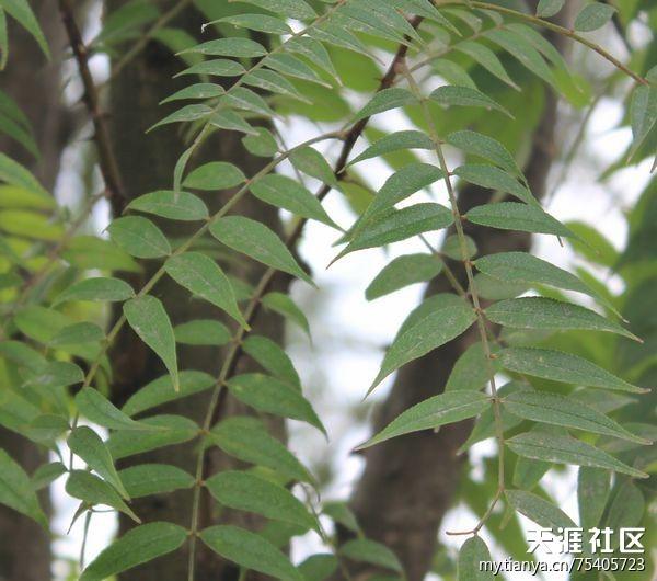 满意回答: 玉嶙峋 从叶子看像是臭椿。   臭椿(Ailanthus altissima)苦木科臭椿属落叶乔木,树皮灰色至灰黑色,原名樗(ch),又名椿树和木砻树,因叶基部腺点发散臭味而得名。它原产于中国东北部、中部和台湾。生长在气候温和的地带。这种树木生长迅速,可以在25年内达到15米的高度。