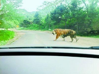 北京:八达岭野生动物园老虎伤人致1死