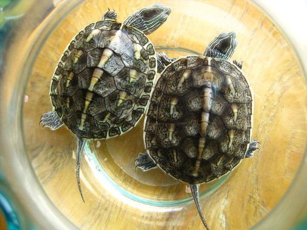 中华花龟是现存最古老的爬行动物