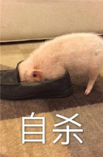 各种可爱猪猪无水印表情