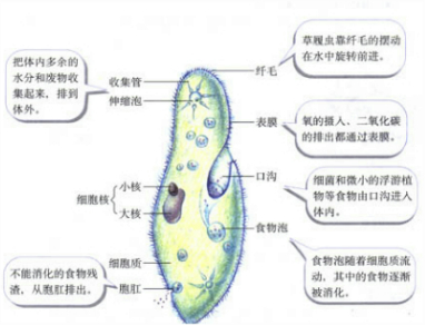 草履虫实验报告图
