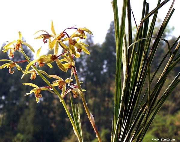 兰科植物的花,形成了对昆虫传粉高度适应的结构。第一,5轮3数的花作了极大的变形。大而具色彩的唇瓣着生在合蕊柱正面的基部(子房作180扭转后),上面有隆起的脊、褶片、胼胝体等,在脊的里面有分泌蜜汁的距。第二,合蕊柱把雄蕊、雌蕊的花柱柱头结合成一个柱状体。在具有大多数种类的单雄蕊亚科里,外轮远轴的1枚雄蕊发育,花粉块具柄和粘盘,和蕊喙及发育的2个柱头在子房扭转后均处于合蕊柱的正面上方,排成一列,柱头凹陷,与蕊喙均充满粘液,花粉块柄和蕊喙相连,位于合蕊柱最突出的位置,有利于昆虫接触而将整个花粉块带走。第三,兰花
