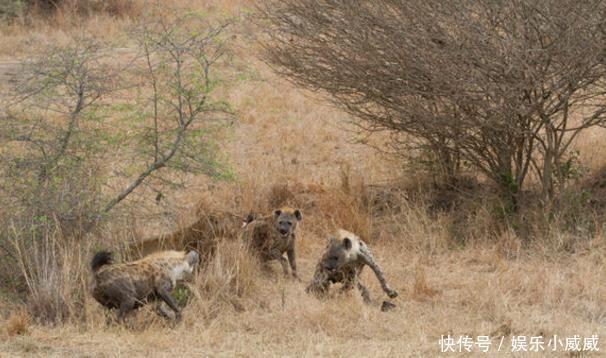 落单母狮遭野狗群围攻,命悬一线时,竟通过这个方法机智逃生!