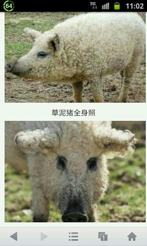 """英国又新出一种动物叫""""草泥猪""""?"""