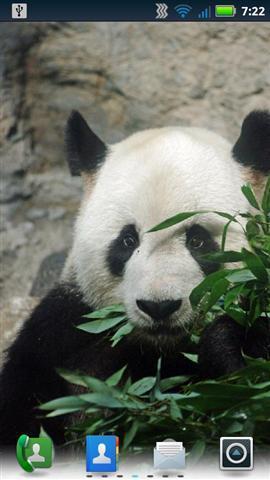 可爱的熊猫动态壁纸下载
