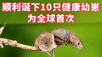 中国科学家成功让公鼠怀孕,顺利诞下10只健康幼崽,为全球首次!