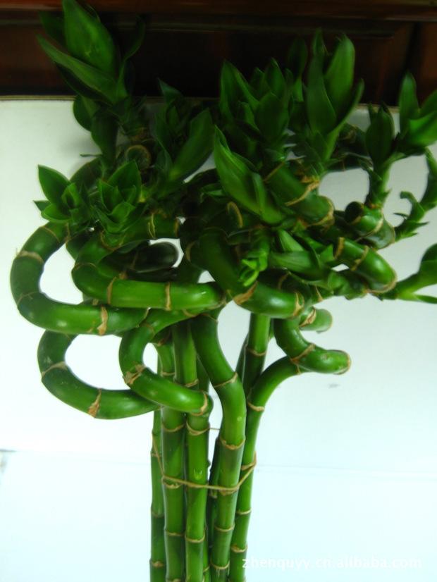 盆栽发财树怎么养_第7页