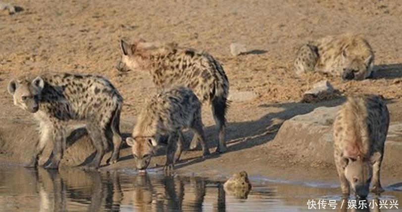 鬣狗河边喝水却被追杀,一路狼狈逃跑活活被吓成狗