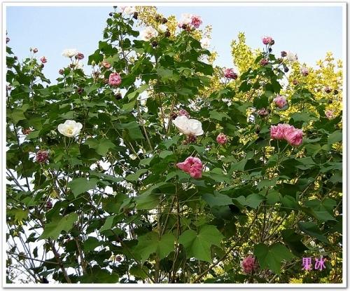 (图)木芙蓉花