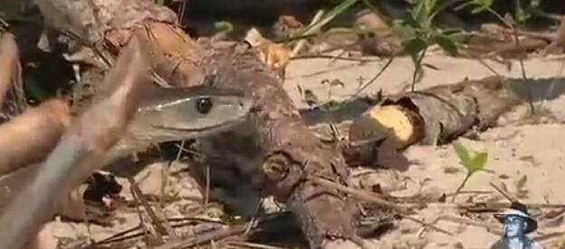 狮子,(黑曼巴,是眼镜蛇科的一员,是非洲最长,最可怕的毒蛇,也是全世界